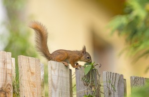 Red squirrel, Sciurus vulgaris, smelling a leaf on top of a fence